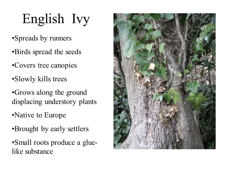 English Ivy Spreads by runners Birds spread the seeds Covers tree canopies Slowly kills trees Grows along the ground displacing understory plants Native to Europe Brought by early settlers Small roots produce a glue- like substance
