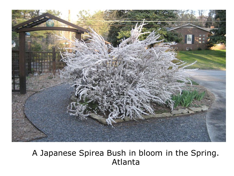 A Japanese Spirea Bush in bloom in the Spring. Atlanta