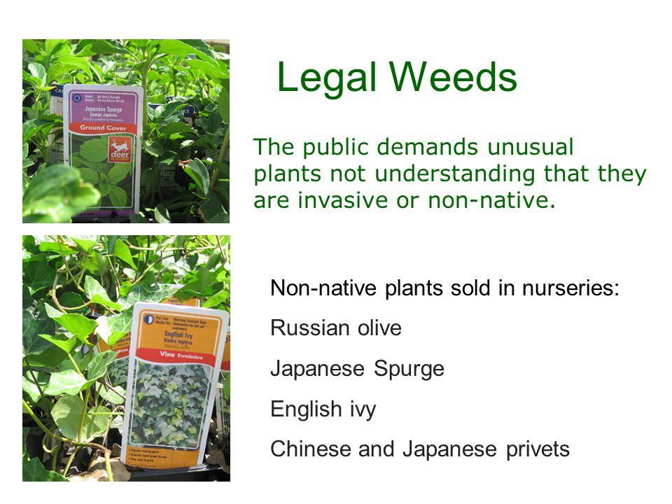 Legal Weeds Non-native plants sold in nurseries: Russian olive Japanese Spurge English ivy Chinese and Japanese privets The public demands unusual plants not understanding that they are invasive or non-native.