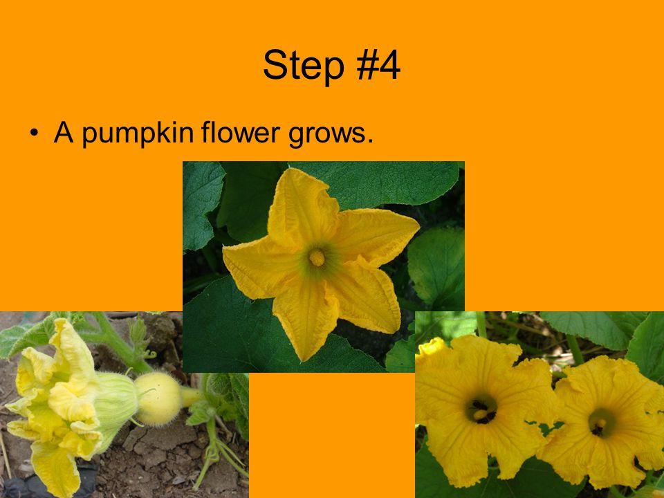 Step #4 A pumpkin flower grows.