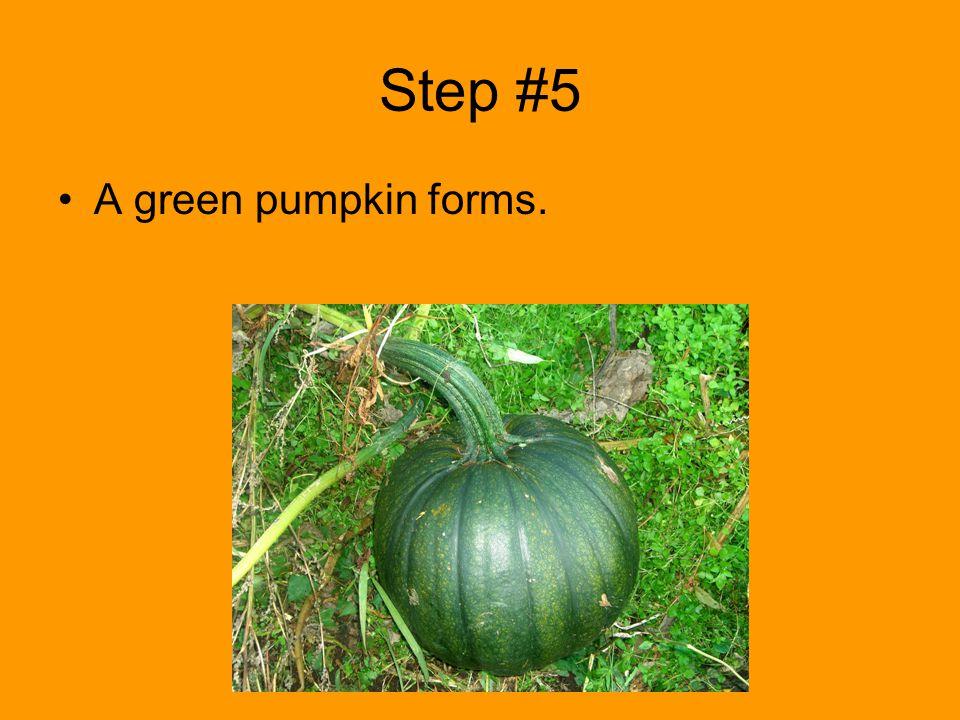 Step #5 A green pumpkin forms.