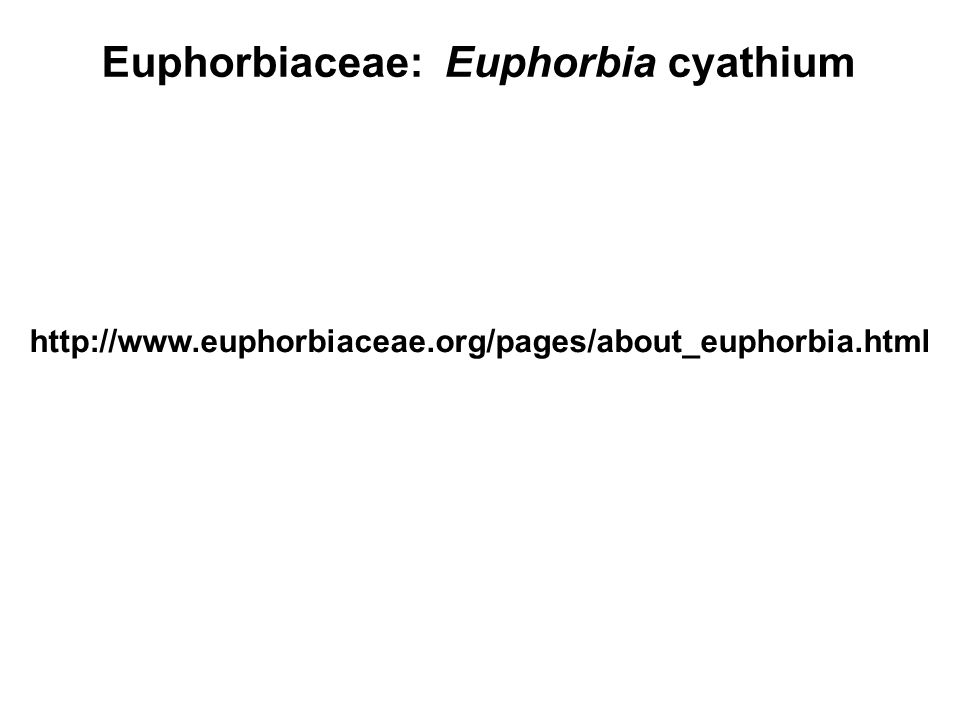 Euphorbiaceae: Euphorbia cyathium http://www.euphorbiaceae.org/pages/about_euphorbia.html
