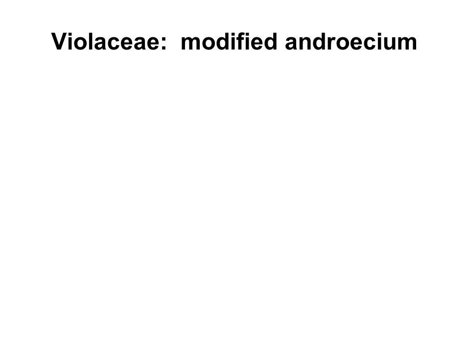 Violaceae: modified androecium