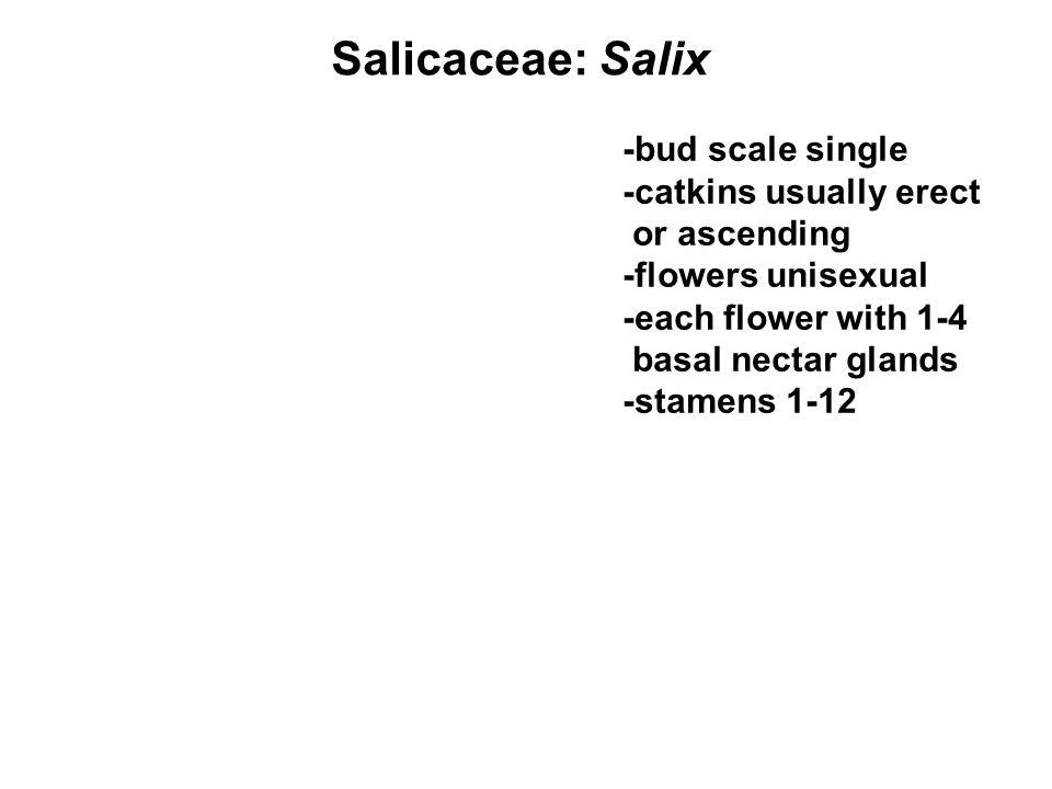 Salicaceae: Salix -bud scale single -catkins usually erect or ascending -flowers unisexual -each flower with 1-4 basal nectar glands -stamens 1-12