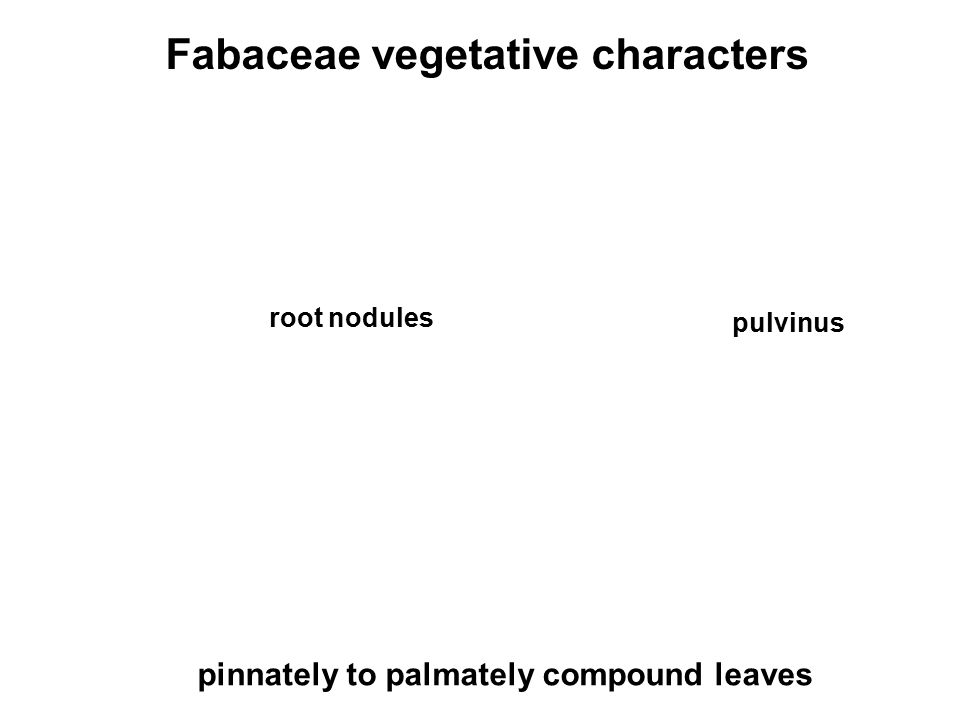 Fabaceae vegetative characters root nodules pulvinus pinnately to palmately compound leaves