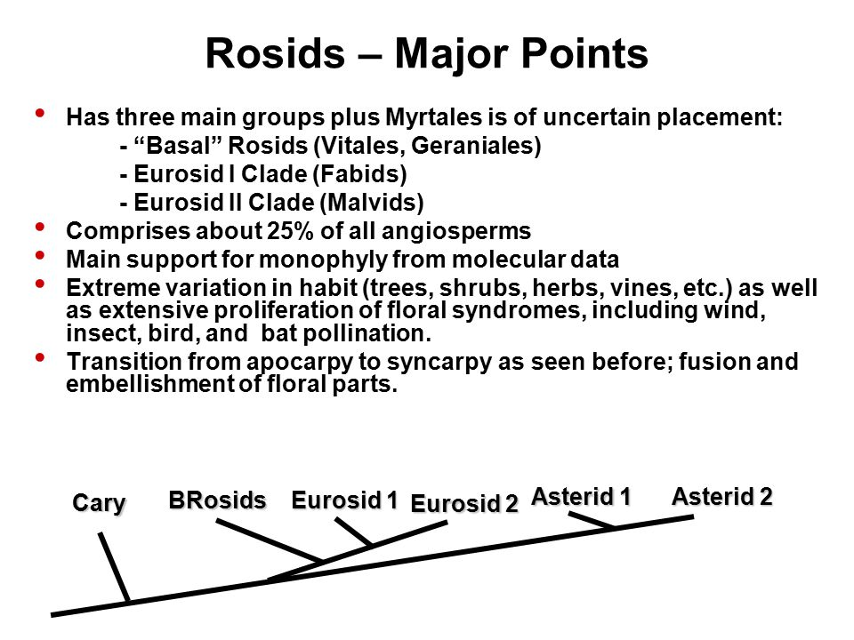 Rosids – Major Points Has three main groups plus Myrtales is of uncertain placement: - Basal Rosids (Vitales, Geraniales) - Eurosid I Clade (Fabids) - Eurosid II Clade (Malvids) Comprises about 25% of all angiosperms Main support for monophyly from molecular data Extreme variation in habit (trees, shrubs, herbs, vines, etc.) as well as extensive proliferation of floral syndromes, including wind, insect, bird, and bat pollination.