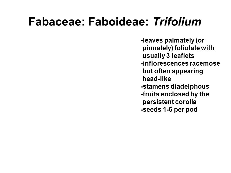 Fabaceae: Faboideae: Trifolium -leaves palmately (or pinnately) foliolate with usually 3 leaflets -inflorescences racemose but often appearing head-like -stamens diadelphous -fruits enclosed by the persistent corolla -seeds 1-6 per pod