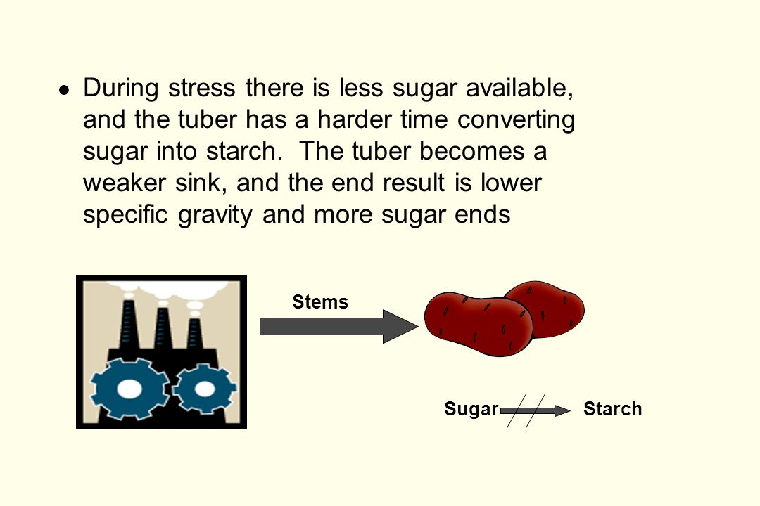 l During stress there is less sugar available, and the tuber has a harder time converting sugar into starch.
