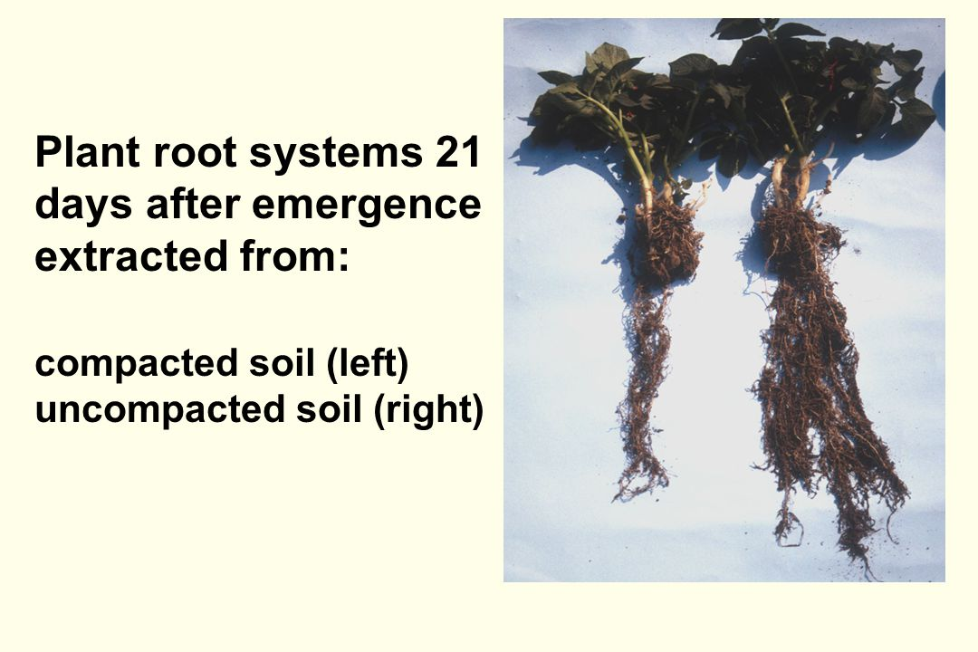 Plant root systems 21 days after emergence extracted from: compacted soil (left) uncompacted soil (right)