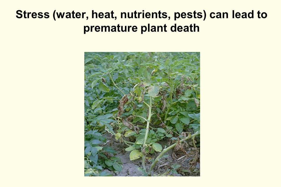 Stress (water, heat, nutrients, pests) can lead to premature plant death