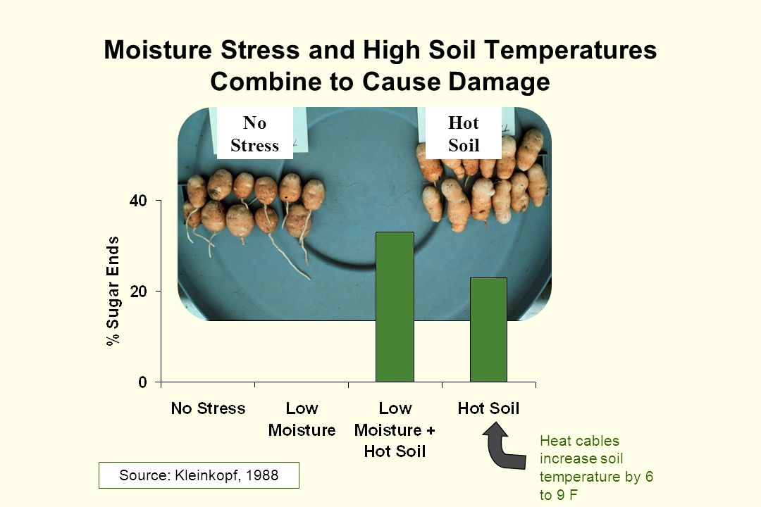 Moisture Stress and High Soil Temperatures Combine to Cause Damage Source: Kleinkopf, 1988 Hot Soil No Stress Heat cables increase soil temperature by 6 to 9 F