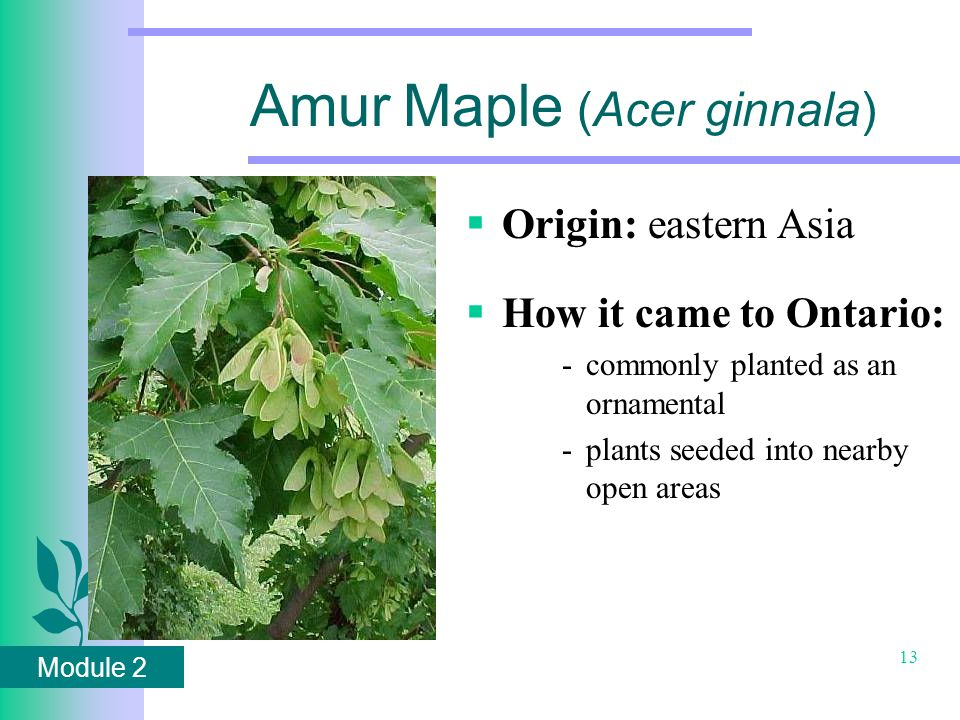 Module 2 13 Amur Maple (Acer ginnala)  Origin: eastern Asia  How it came to Ontario: -commonly planted as an ornamental -plants seeded into nearby open areas