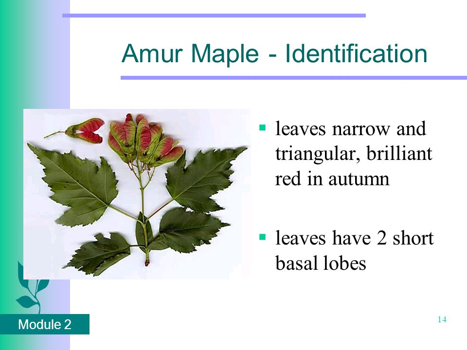 Module 2 14 Amur Maple - Identification  leaves narrow and triangular, brilliant red in autumn  leaves have 2 short basal lobes