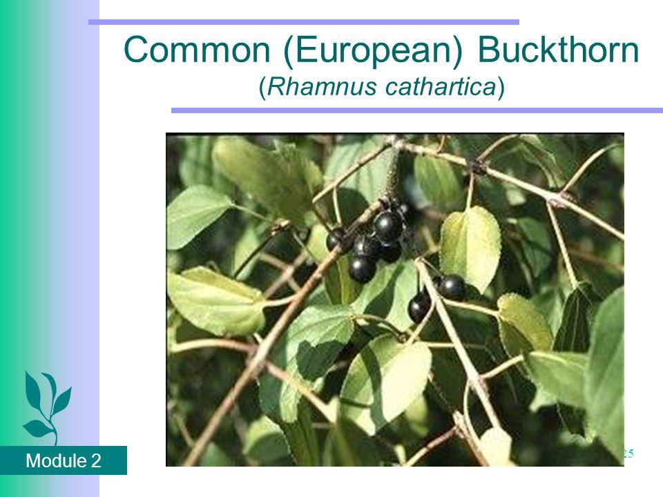 Module 2 25 Common (European) Buckthorn (Rhamnus cathartica)