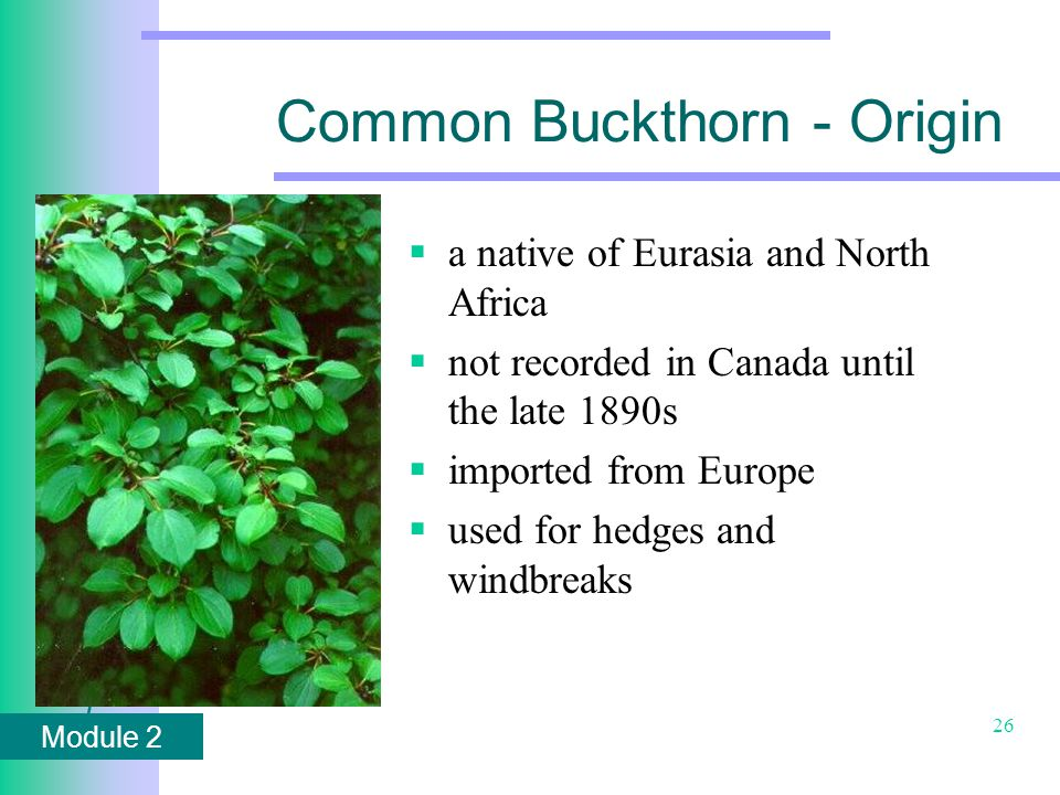 Module 2 26 Common Buckthorn - Origin  a native of Eurasia and North Africa  not recorded in Canada until the late 1890s  imported from Europe  used for hedges and windbreaks
