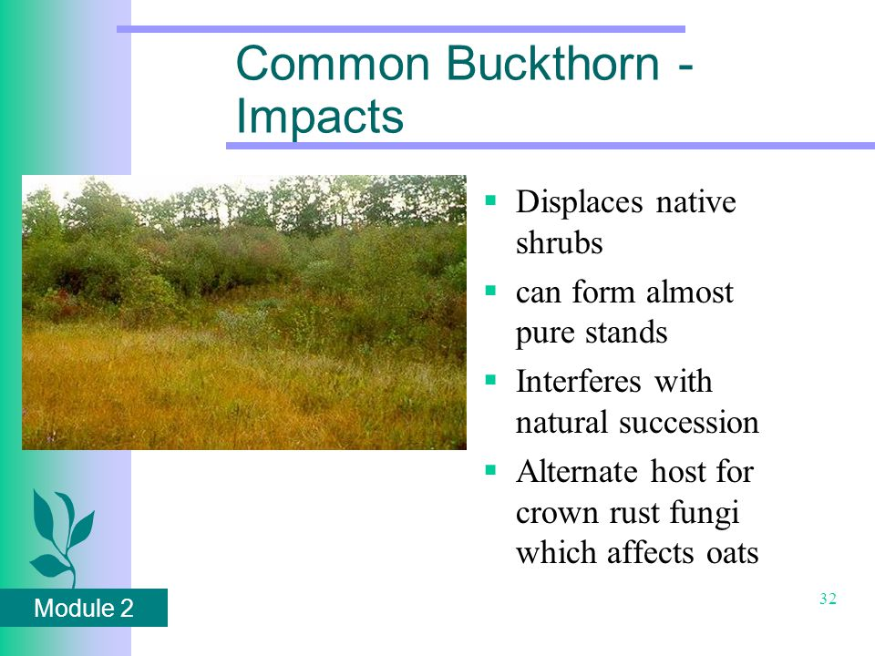 Module 2 32 Common Buckthorn - Impacts  Displaces native shrubs  can form almost pure stands  Interferes with natural succession  Alternate host for crown rust fungi which affects oats