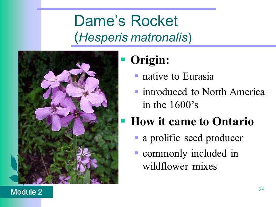Module 2 34 Dame's Rocket ( Hesperis matronalis)  Origin:  native to Eurasia  introduced to North America in the 1600's  How it came to Ontario  a prolific seed producer  commonly included in wildflower mixes