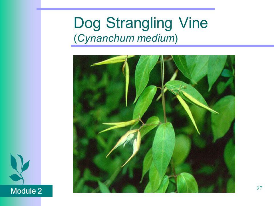 Module 2 37 Dog Strangling Vine (Cynanchum medium)