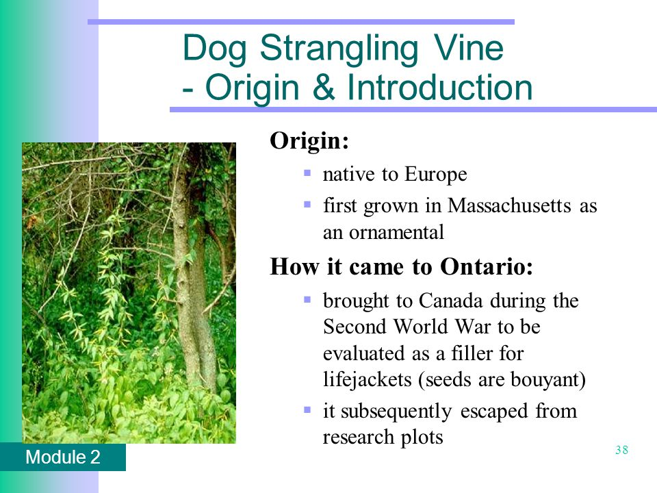 Module 2 38 Dog Strangling Vine - Origin & Introduction Origin:  native to Europe  first grown in Massachusetts as an ornamental How it came to Ontario:  brought to Canada during the Second World War to be evaluated as a filler for lifejackets (seeds are bouyant)  it subsequently escaped from research plots