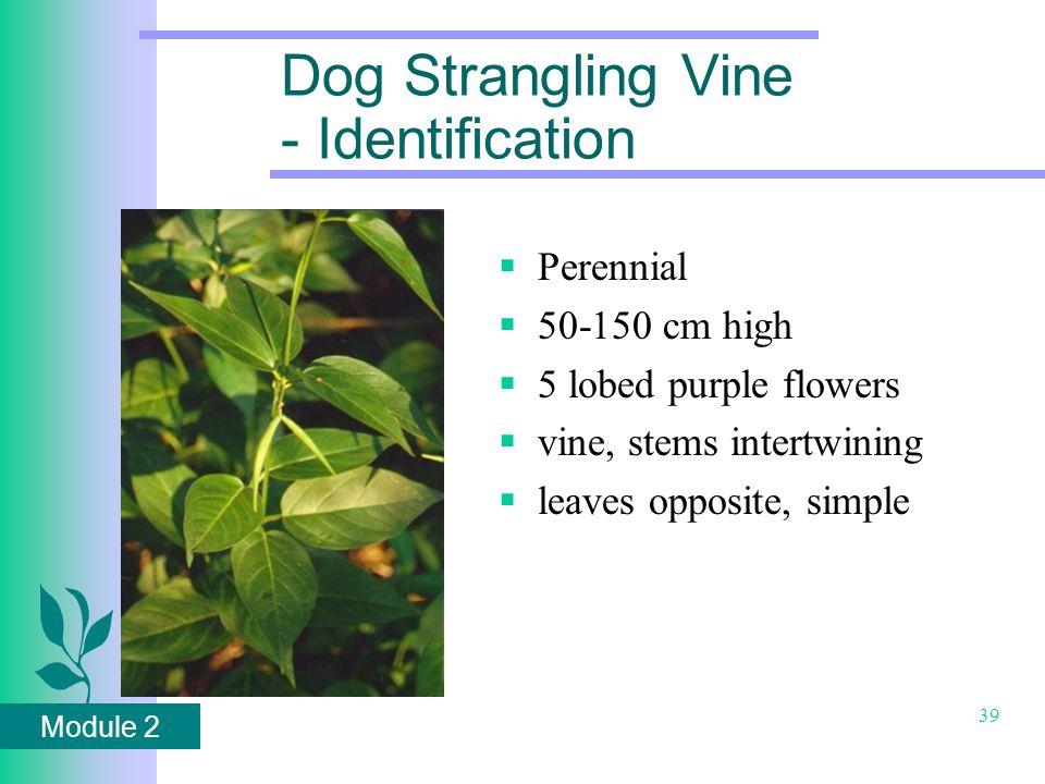 Module 2 39 Dog Strangling Vine - Identification  Perennial  50-150 cm high  5 lobed purple flowers  vine, stems intertwining  leaves opposite, simple