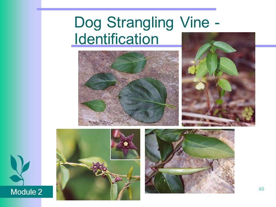 Module 2 40 Dog Strangling Vine - Identification