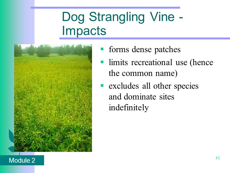 Module 2 41 Dog Strangling Vine - Impacts  forms dense patches  limits recreational use (hence the common name)  excludes all other species and dominate sites indefinitely