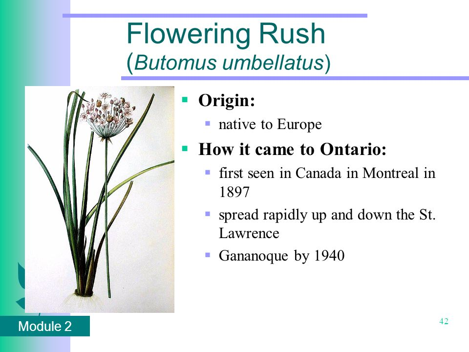Module 2 42 Flowering Rush ( Butomus umbellatus)  Origin:  native to Europe  How it came to Ontario:  first seen in Canada in Montreal in 1897  spread rapidly up and down the St.