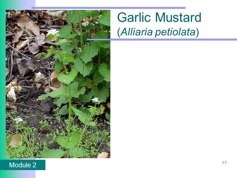 Module 2 45 Garlic Mustard (Alliaria petiolata)