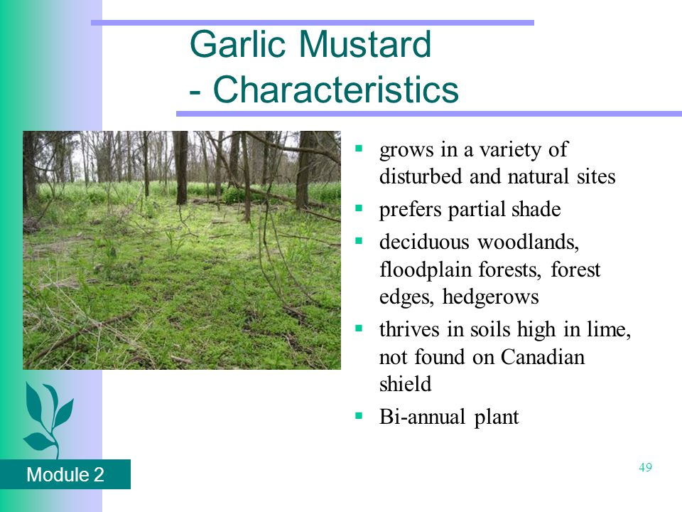 Module 2 49 Garlic Mustard - Characteristics  grows in a variety of disturbed and natural sites  prefers partial shade  deciduous woodlands, floodplain forests, forest edges, hedgerows  thrives in soils high in lime, not found on Canadian shield  Bi-annual plant