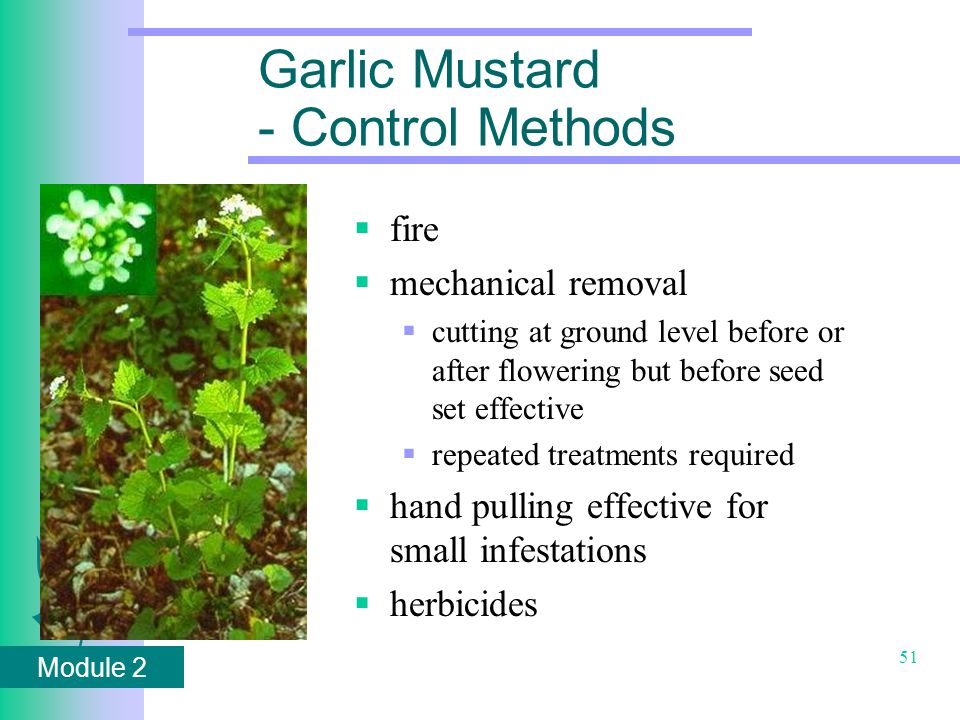 Module 2 51 Garlic Mustard - Control Methods  fire  mechanical removal  cutting at ground level before or after flowering but before seed set effective  repeated treatments required  hand pulling effective for small infestations  herbicides