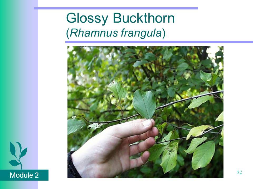 Module 2 52 Glossy Buckthorn (Rhamnus frangula)