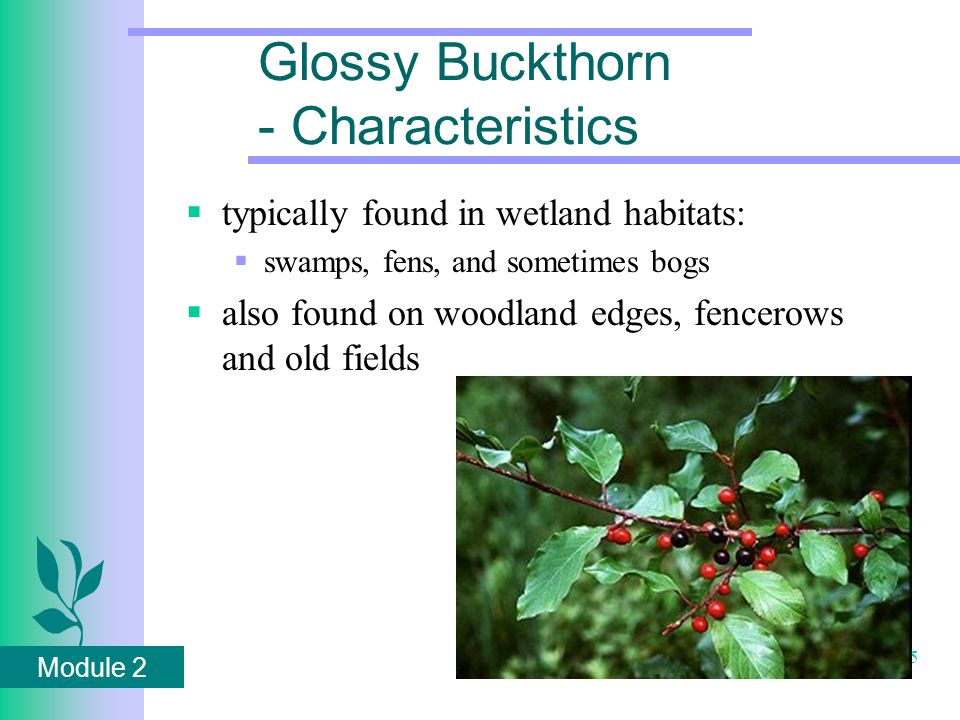 Module 2 55 Glossy Buckthorn - Characteristics  typically found in wetland habitats:  swamps, fens, and sometimes bogs  also found on woodland edges, fencerows and old fields