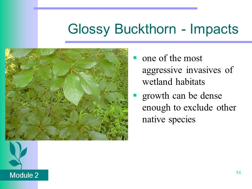 Module 2 56 Glossy Buckthorn - Impacts  one of the most aggressive invasives of wetland habitats  growth can be dense enough to exclude other native species