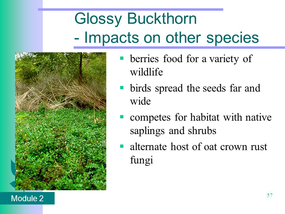 Module 2 57 Glossy Buckthorn - Impacts on other species  berries food for a variety of wildlife  birds spread the seeds far and wide  competes for habitat with native saplings and shrubs  alternate host of oat crown rust fungi