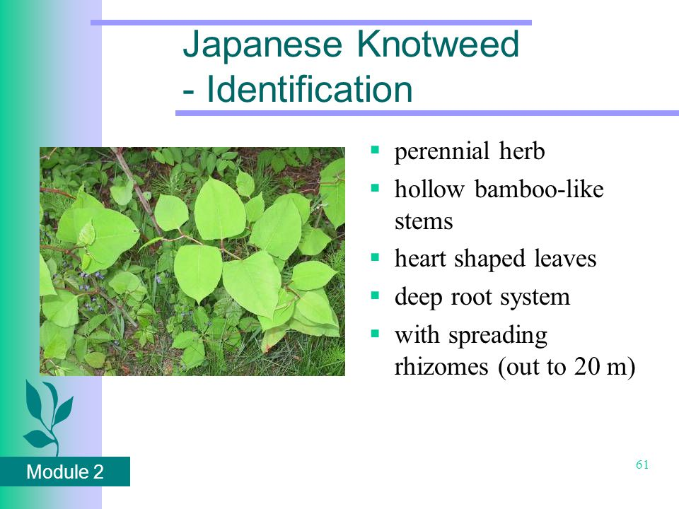Module 2 61 Japanese Knotweed - Identification  perennial herb  hollow bamboo-like stems  heart shaped leaves  deep root system  with spreading rhizomes (out to 20 m)