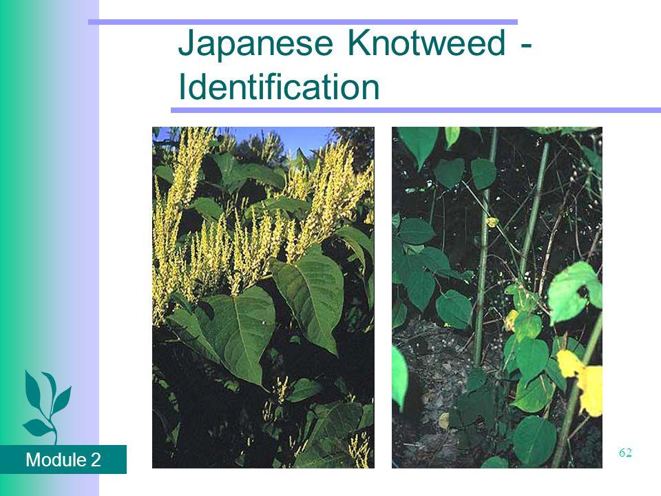 Module 2 62 Japanese Knotweed - Identification
