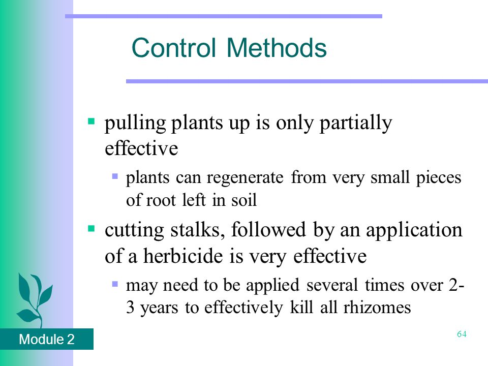 Module 2 64 Control Methods  pulling plants up is only partially effective  plants can regenerate from very small pieces of root left in soil  cutting stalks, followed by an application of a herbicide is very effective  may need to be applied several times over 2- 3 years to effectively kill all rhizomes