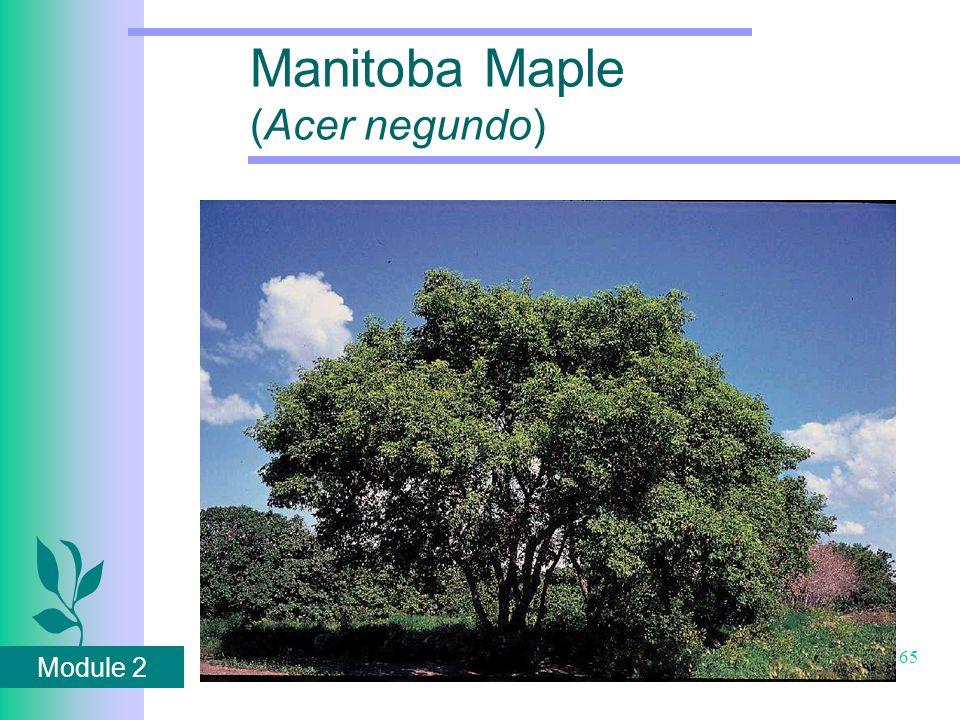 Module 2 65 Manitoba Maple (Acer negundo)