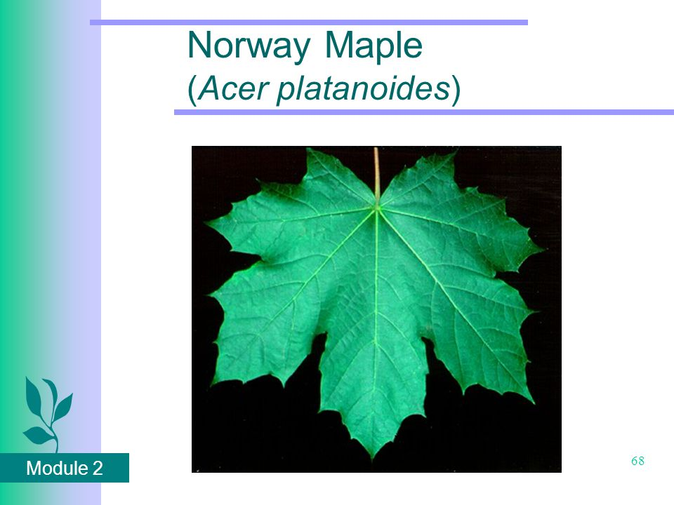 Module 2 68 Norway Maple (Acer platanoides)