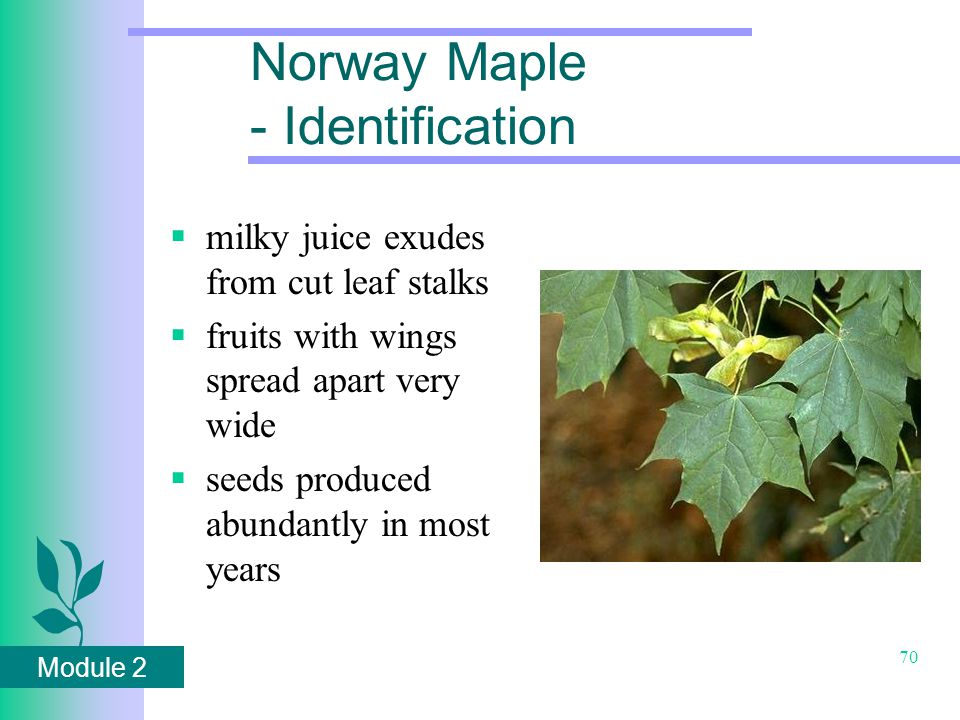 Module 2 70 Norway Maple - Identification  milky juice exudes from cut leaf stalks  fruits with wings spread apart very wide  seeds produced abundantly in most years