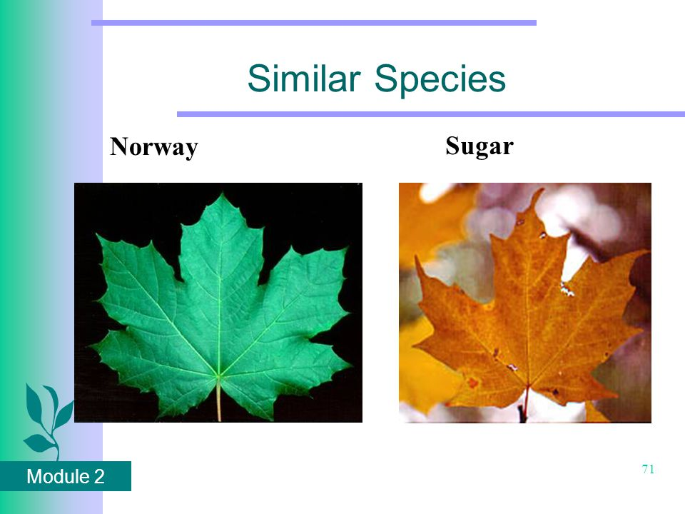 Module 2 71 Similar Species Norway Sugar