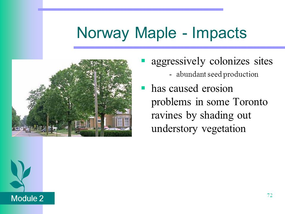 Module 2 72 Norway Maple - Impacts  aggressively colonizes sites -abundant seed production  has caused erosion problems in some Toronto ravines by shading out understory vegetation