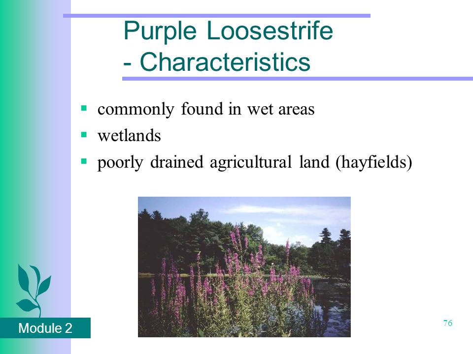Module 2 76 Purple Loosestrife - Characteristics  commonly found in wet areas  wetlands  poorly drained agricultural land (hayfields)