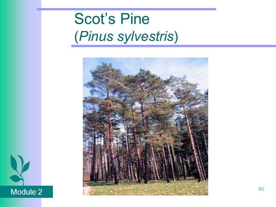 Module 2 80 Scot's Pine (Pinus sylvestris)