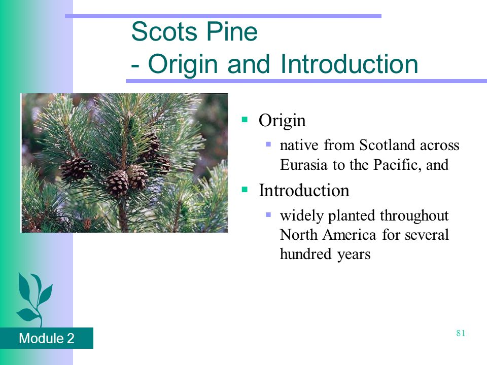 Module 2 81 Scots Pine - Origin and Introduction  Origin  native from Scotland across Eurasia to the Pacific, and  Introduction  widely planted throughout North America for several hundred years