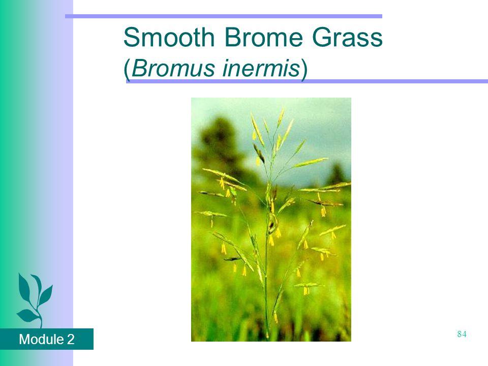Module 2 84 Smooth Brome Grass (Bromus inermis)