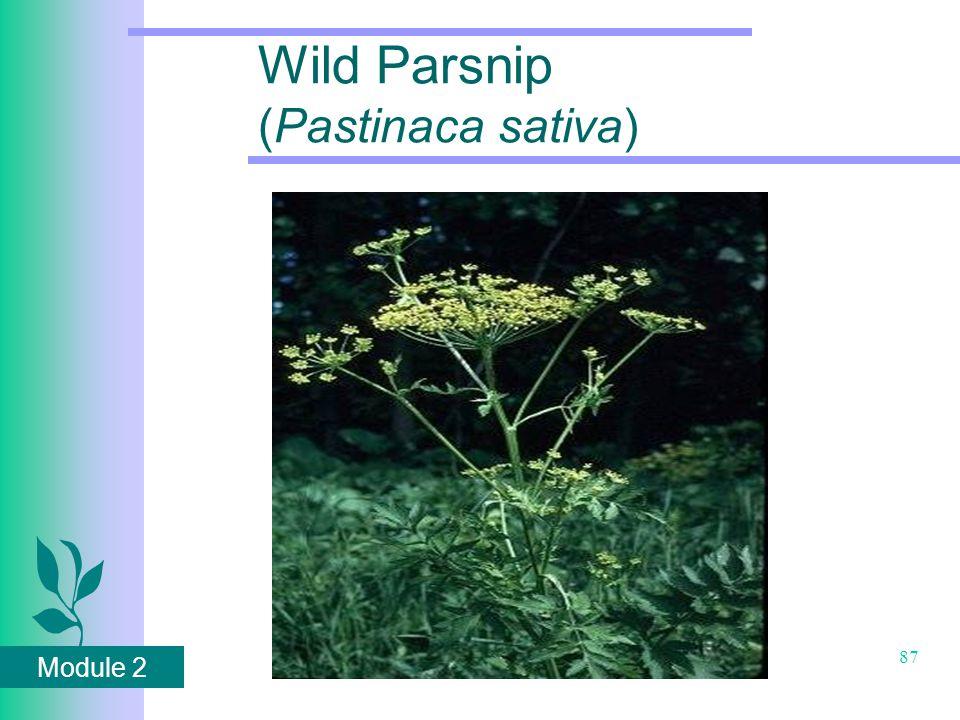 Module 2 87 Wild Parsnip (Pastinaca sativa)