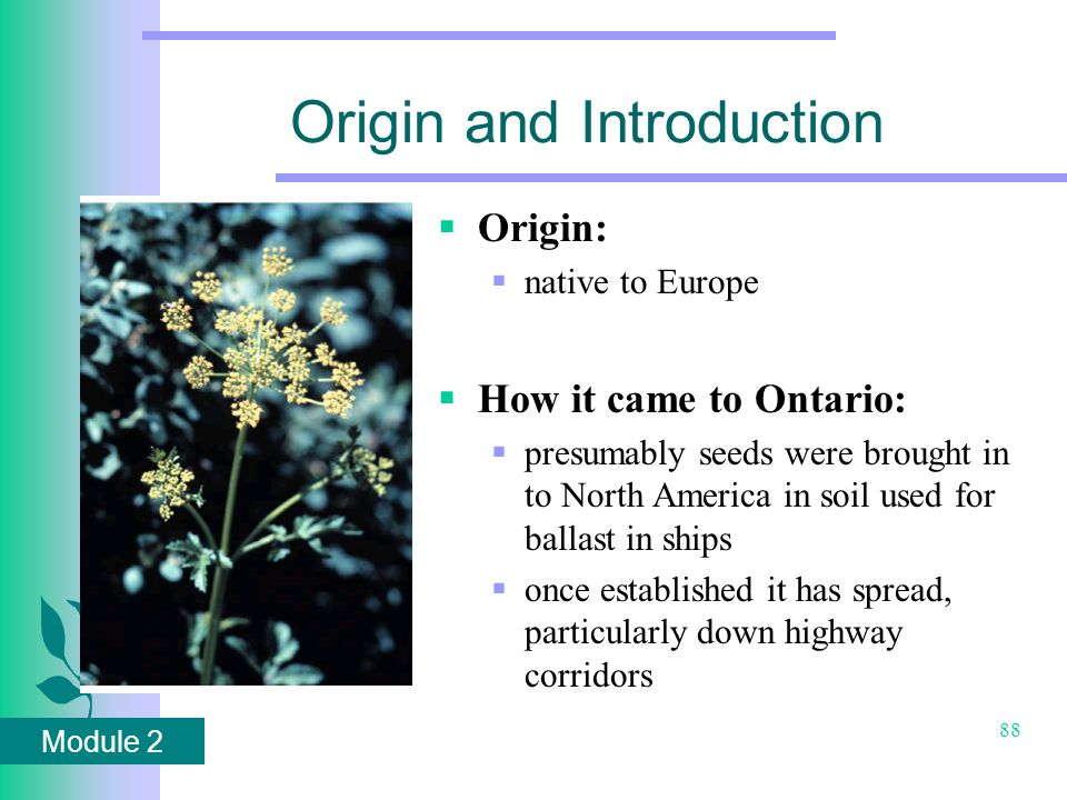 Module 2 88 Origin and Introduction  Origin:  native to Europe  How it came to Ontario:  presumably seeds were brought in to North America in soil used for ballast in ships  once established it has spread, particularly down highway corridors