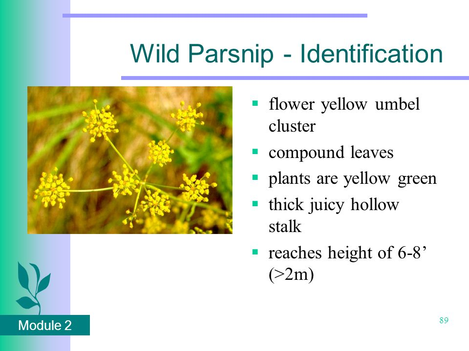 Module 2 89 Wild Parsnip - Identification  flower yellow umbel cluster  compound leaves  plants are yellow green  thick juicy hollow stalk  reaches height of 6-8' (>2m)