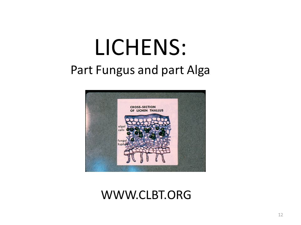 LICHENS: Part Fungus and part Alga WWW.CLBT.ORG 12